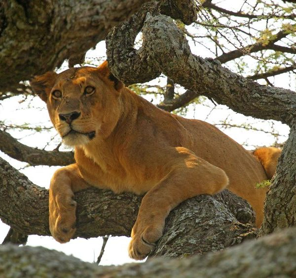 Lion in a tree looking for prey